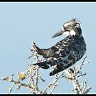 Pied Kingfisher  by Warren. A. Williams