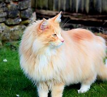 Majestic Maine coon by missmoneypenny