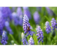 Grape hyacinth with bee in spring Photographic Print