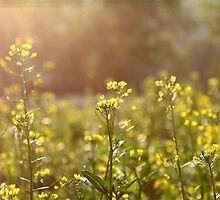 Rape flowers field under sunlight by kawing921