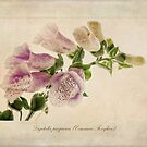 Digitalis purpurea (Common Foxglove) by John Edwards