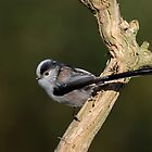 Long tailed tit - II (Aegithalos caudatus) by Peter Wiggerman