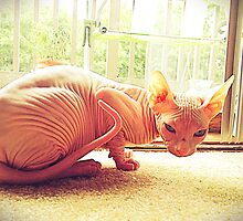 Cosmo the sphynx by MKatG