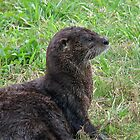 River Otter by George  Link