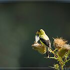American Goldfinch 1 by Thomas Young