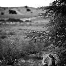 Male Lion, Kgalagadi, South Africa by Shannon Benson