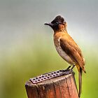 Common Bulbul  by vivsworld