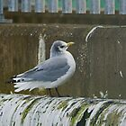 Black-legged Kittiwake  by VoluntaryRanger