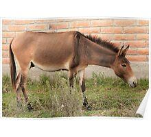 Brown Mule in Cotacachi Poster