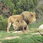 Handsome Lions at Werribee Zoo. Vic. Aust. by Rita Blom