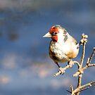 Goldfinch by John Sharp