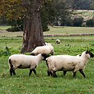 Sheep Grazing by AnnDixon