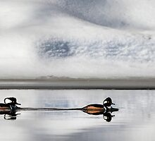 Hooded Mergansers by Bill Wakeley