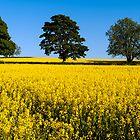 Rapeseed Field, Northern Ireland, Hillsbough, Co. Down by ThomasBlake