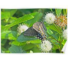 Tiger Swallowtail Butterfly On Buttonbush - Dark Phase - Papilio glaucus Poster