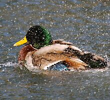 Duck Splash by LisaThomasPhoto