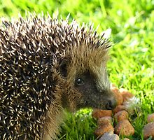 Thank You... You Saved My Life... - Hedgehog - NZ by AndreaEL
