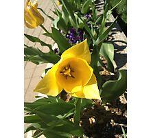Yellow Tulip Photographic Print