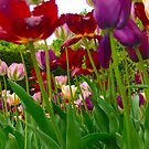Tulips by Shellie Phipps