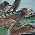 Brown Pelicans by Imagery