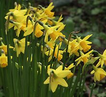 Mellow Yellow - Dwarf Daffs by Rivendell7