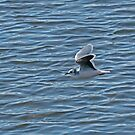 Little Gull by Sue Robinson