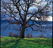 Leafless oak tree above the Mediteranian sea by damil