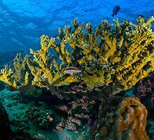 Staghorn coral, Sipadan, Malaysia by Erik Schlogl