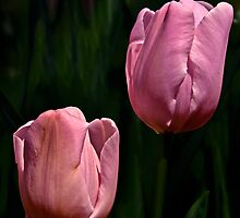 Pink Tulips by cclaude