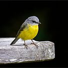 Eastern Yellow Robin by Chris  Randall