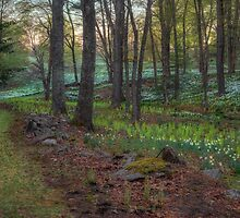 Path to the Daffodils by Bill Wakeley