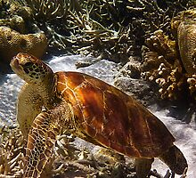 Green Turtle swims in the coral lagoon by Jaxybelle