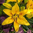 Hemerocallis by PhotosByHealy