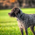 German wirehaired pointer by Mark  Swindells
