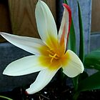First Tulip 2014 by Janone