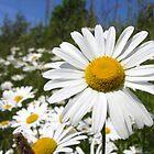 Oxeye daisy by Kawka