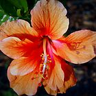 Single orange hibiscus by ♥⊱ B. Randi Bailey