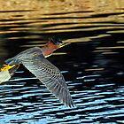 Green Heron in Flight by George I. Davidson