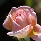 Glowing Rose Bud by Joy Watson
