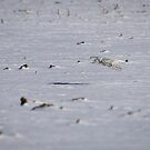 Snowy Owl In Flight 3 by Thomas Young