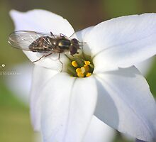 """ Drone Fly On Wood Anemone by Richard Couchman"