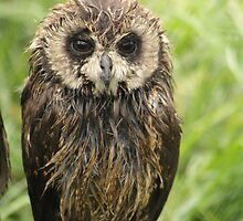 Marsh Owl in the Rain by NickyWebber