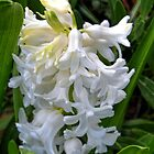 Pretty White Hyacinth by lynn carter