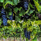 Shiraz 2014 by yolanda