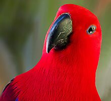 Female Electus Parrot - Close up by Sandra Chung