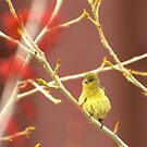 Young Goldfinch In Spring by Diana Graves Photography
