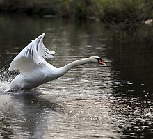 Swan Take off 1 by Peter Barrett