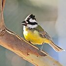 Crested Shrike-tit by dilouise