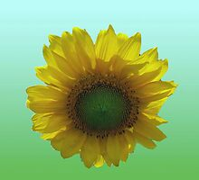 Sunflower Gradient Art by DesignDorice