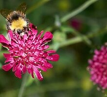 Bumble Bee  by Sara Sadler